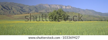 Mustard in green field and Topa Topa Bluffs, in Upper Ojai Valley, California - stock photo