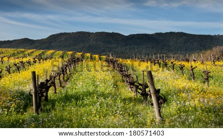 Mustard in Winter Vineyard - stock photo