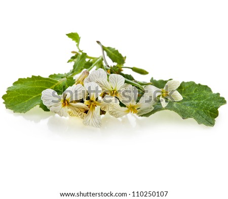 mustard plant bloom isolated on white - stock photo