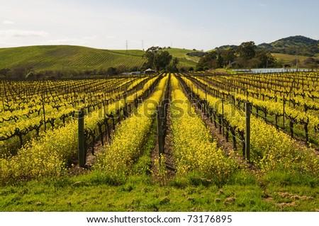 Mustard plants among the vines, Carneros Region, Napa, California - stock photo