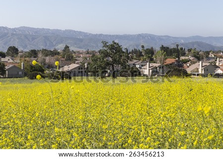 Mustard wildflower meadow with suburban background near Los Angeles in Simi Valley, California. - stock photo