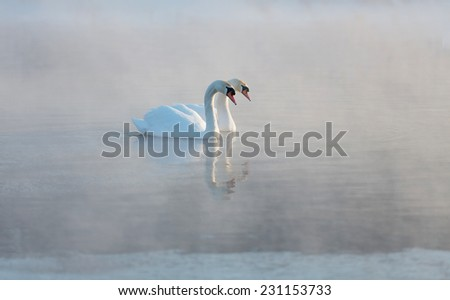 Mute swan couple gliding across a mist covered lake at dawn  - stock photo