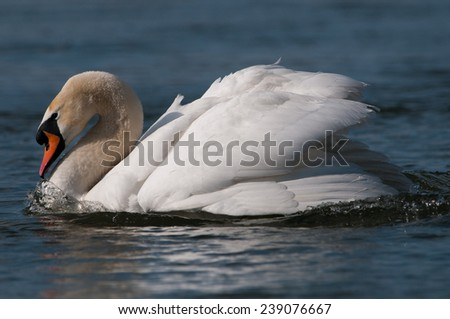 Mute swan (Cygnus olor) - stock photo