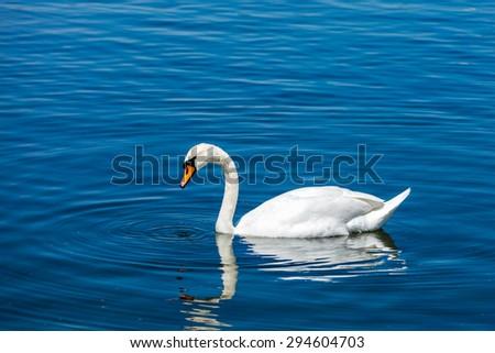 Mute Swan (Cygnus olor) in lake, Munich, Germany - stock photo