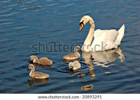 Mute swan(Cygnus Olor)-Mum and Kids - stock photo