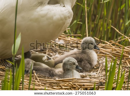 Mute swan, Cygnus olor, on nest with hatching egg and newly hatched Cygnets - stock photo