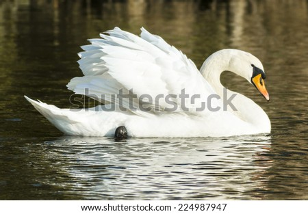 Mute swan (Cygnus olor) swimming past in profile with wings raised - stock photo