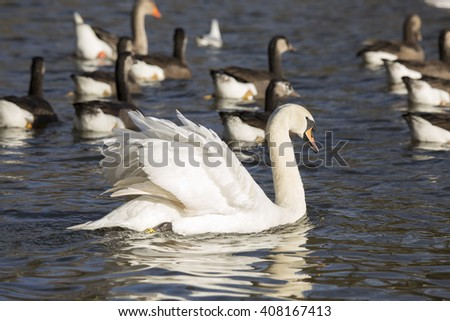 Mute swan (Cygnus olor) swimming side on in profile, in front of a flock of Canada Geese and Hybrid Canada Geese, on a river in Norfolk, England, on a sunny summer day. - stock photo