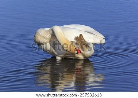 Mute swan preening himself in the water - stock photo