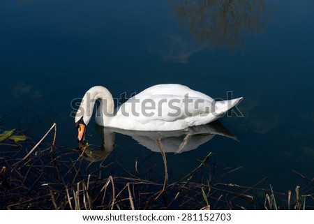Mute Swan reflected on the clear waters of a lake - stock photo