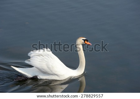 Mute swan swimming - stock photo
