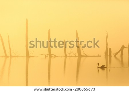 Mute swan swimming in the morning mist - stock photo