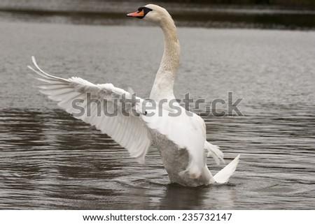 Mute swan, wild, in it's natural habitat - stock photo