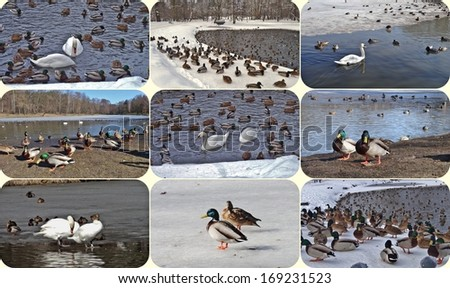 Mute swans and ducks in winter - photo collage - stock photo