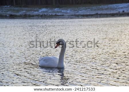 muteswan swimming - stock photo