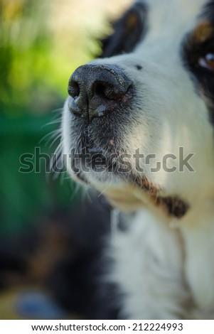 Muzzle dog Bernese mountain dog - stock photo