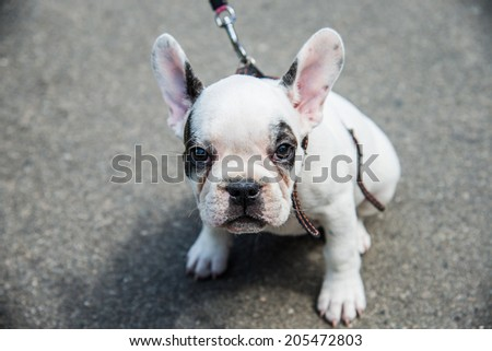 Muzzle dog breed French bulldog looking to frame - stock photo