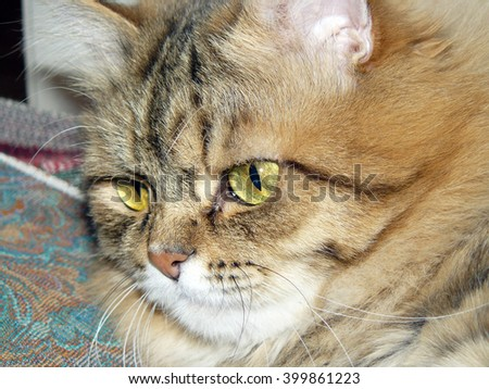 Muzzle of a cat close-up. / Cat head shot close-up in a half-turn . Ivory yellow black and white color . Wieden completely one eye green- black. Cat fluffy. / Fredi Albert - stock photo