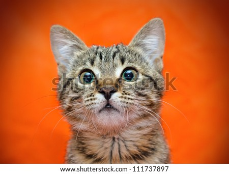 Muzzle of tabby cat on orange background - stock photo