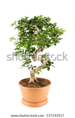 Myrtle tree in in flowerpot. Plant in a pot. Isolated - stock photo