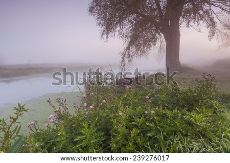 Mysterious foggy landscape with old trees and flowering thistles. - stock photo