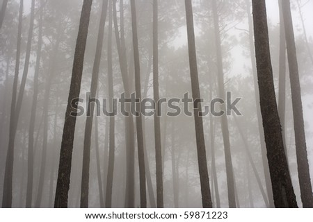 Mysterious pine woods in an autumn foggy morning (north of Portugal) - low edition photo - stock photo