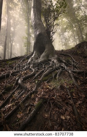Mysterious roots of a tree in a forest with fog - stock photo