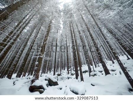Mysterious trees in winter forest - stock photo