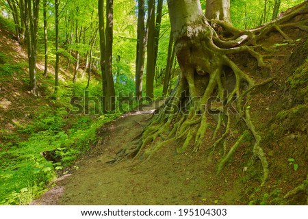 Mysterious way in green deciduous forest scenery. Beech roots. Trees in The Fox Ravine (Lisi Jar) nature reserve, Poland. - stock photo