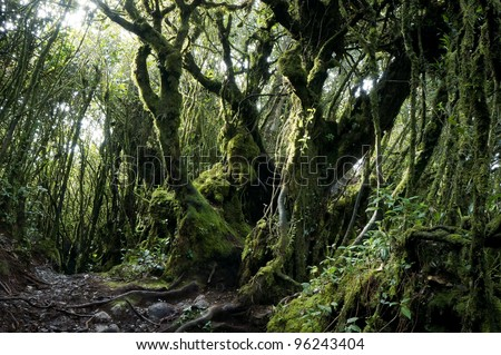 Mystical and beautiful famous green Mossy Forest in Cameron Highland in its original ambient lighting. - stock photo