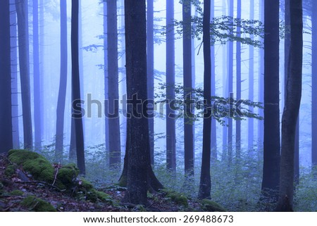 Mystical blue color foggy woodland. Beautiful blue color in dreamy foggy forrest. - stock photo