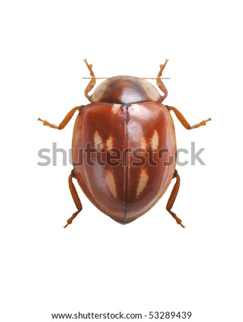 Myzia oblongoguttata - stock photo