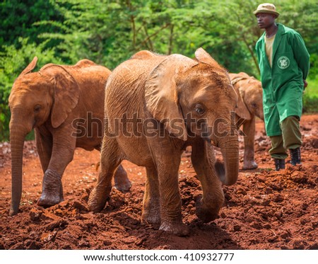 NAIROBI, KENYA - JUNE 22, 2015: Sheldrick Elephant Orphanage in Nairobi (Kenya) - one of the workers observing young orphan elephants playing in the mud - stock photo