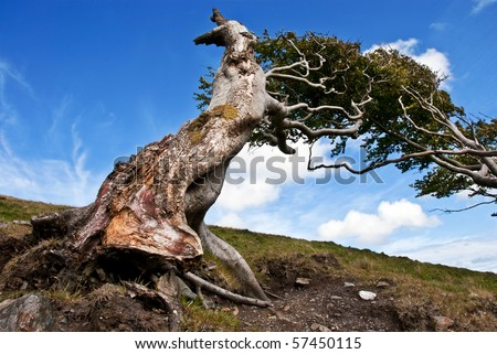 Naked roots on a very old tree against blue sky on a sunny day - stock photo