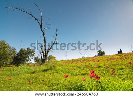Naked tree in a field of wild red anemone coronaria (windflower) flowers blooming in the sunny Galilee, Israel, after the winter rains - stock photo