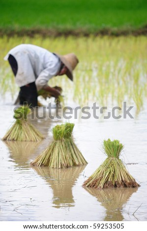 NAKHONRAJSIMA-THAILAND - AUGUST 13: Farmers plant rice in rice field,  August 13, 2010 in Nakhonrajsima, Thailand. Thailand is currently the worlds largest producer of rice in the world. - stock photo
