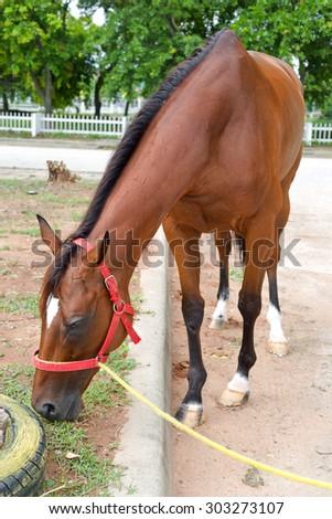 Nakhonratchasima, THAILAND - July 30, 2015 : Horse race eat grass for gather energy. - stock photo