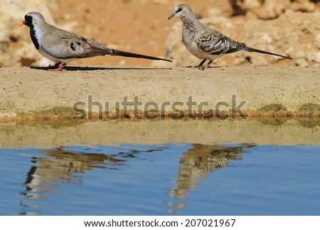 Namaqua Dove - African Wild Bird Background - Reflection of a Couple - stock photo