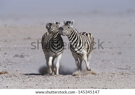 Namibia Etosha Pan two Burchell's Zebras running side by side - stock photo