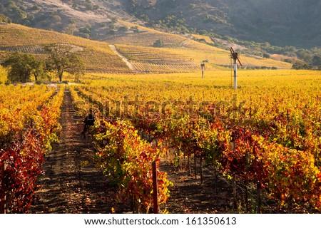 Nap Valley Vineyards in Autumn - stock photo