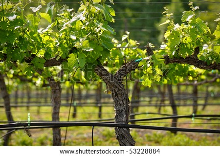 Napa Valley Grape Vine closeup in Spring - stock photo