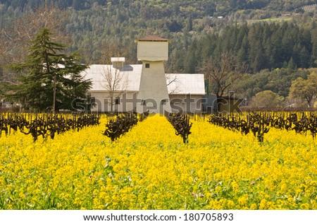 Napa Valley Spring Mustard in Vineyards - stock photo