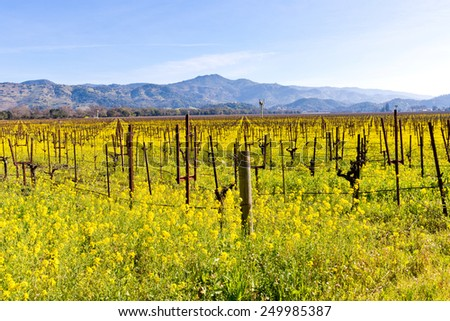 Napa Valley Vineyards, Mustard in Bloom and Mountains Focus is perfect at 100% - stock photo