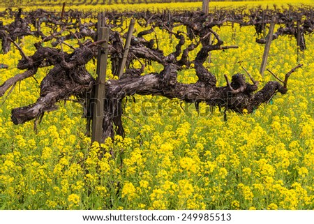 Napa Valley Vineyards, Mustard in Bloom and Old Gnarly Vine Composition, Lighting and White balance are spot on. - stock photo