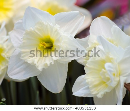 Narcissus - stock photo