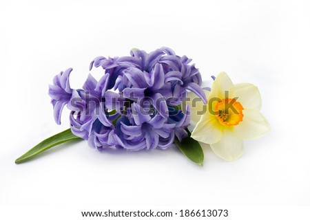 Narcissus and hyacinth on white background - stock photo