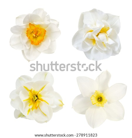 narcissus  collage, flowers are is isolated on the white - stock photo