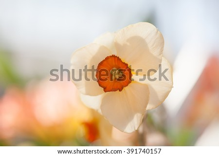 Narcissus flower against sunlight. White petals flower macro view, shallow depth of field. soft and blurry background. spring season flowers concept. - stock photo