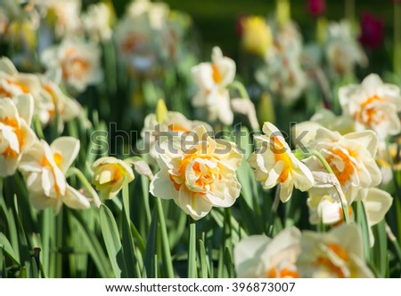 Narcissus flower in the garden. Yellow and white narcissuses under the bright sun. Beautiful flowers delicate narcissuses with lush buds. Lovely field with daffodils. Shallow dof and natural light. - stock photo