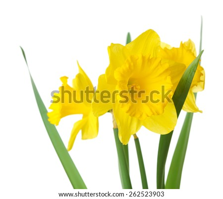 Narcissus flower isolated on white - stock photo
